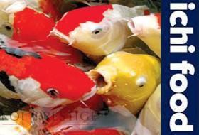 ICHI FOOD, par Aquatic Science, nourriture pour carpe koi et poissons.