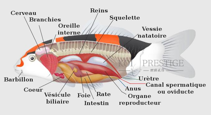 L 39 anatomie de la carpe koi mieux connaitre mon ko for Nourriture poisson rouge pour une semaine