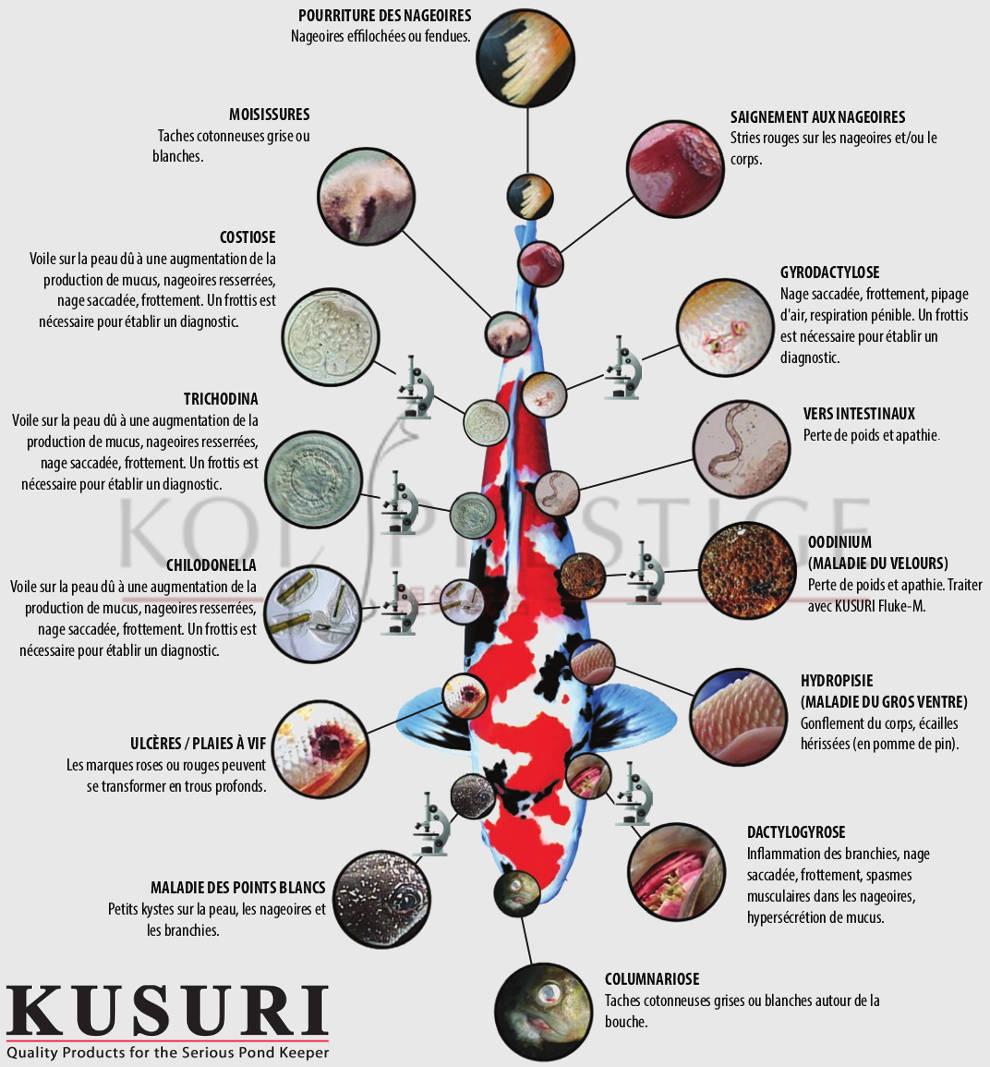 Bien soigner une carpe koi avec la gamme kutsuri suivez for Le prix des carpes koi
